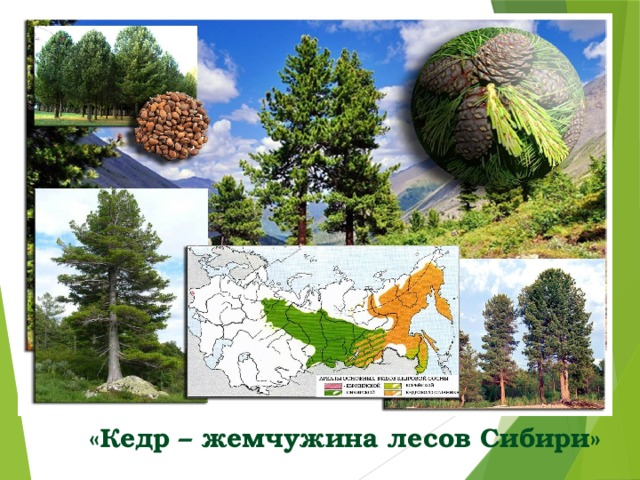 «Кедр – жемчужина лесов Сибири»