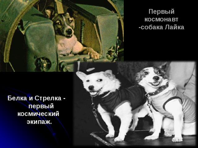 Первый космонавт -собака Лайка Белка и Стрелка -  первый космический  экипаж.