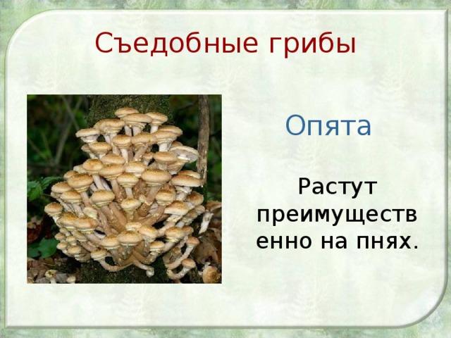 Съедобные грибы Опята  Растут преимущественно на пнях.