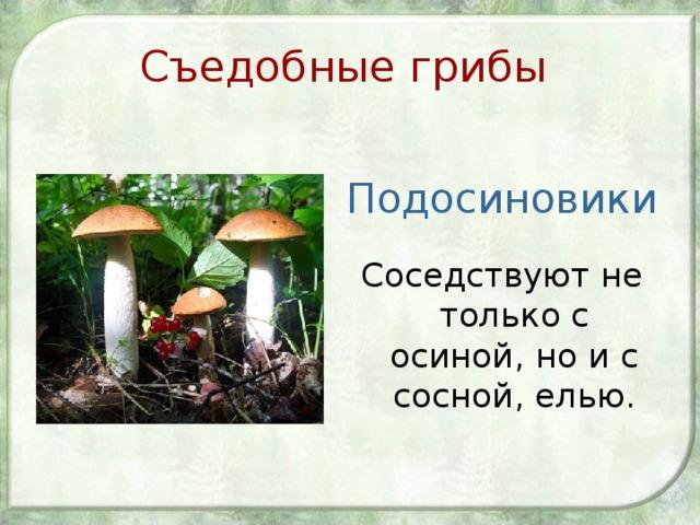 Съедобные грибы Подосиновики Соседствуют не только с осиной, но и с сосной, елью.