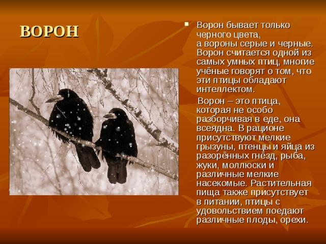 ВОРОН Воронбывает только черногоцвета, аворонысерые и черные. Ворон считается одной из самых умных птиц, многие учёные говорят о том, что эти птицы обладают интеллектом.  Ворон – это птица, которая не особо разборчивая в еде, она всеядна. В рационе присутствуют мелкие грызуны, птенцы и яйца из разорённых гнёзд, рыба, жуки, моллюски и различные мелкие насекомые. Растительная пища также присутствует в питании, птицы с удовольствием поедают различные плоды, орехи.