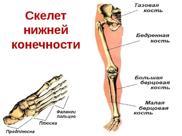 Скелет нижней конечности