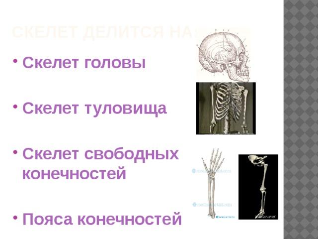 Скелет делится на: Скелет головы  Скелет туловища  Скелет свободных конечностей