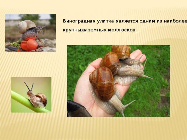 Виноградная улитка является одним из наиболее  крупных наземных моллюсков.