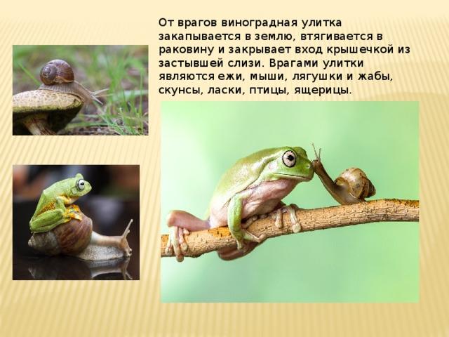 От врагов виноградная улитка закапывается в землю, втягивается в раковину и закрывает вход крышечкой из застывшей слизи. Врагами улитки являются ежи, мыши, лягушки и жабы, скунсы, ласки, птицы, ящерицы. .