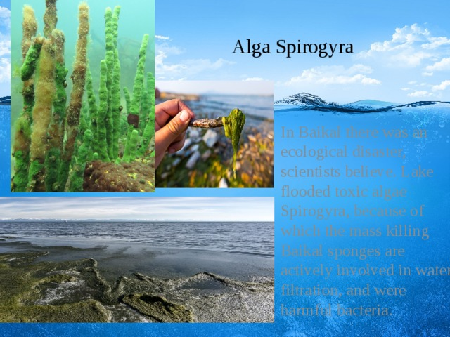 Alga Spirogyra  In Baikal there was an ecological disaster, scientists believe. Lake flooded toxic algae Spirogyra, because of which the mass killing Baikal sponges are actively involved in water filtration, and were harmful bacteria.