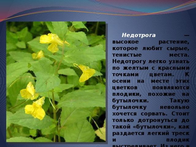 Недотрога  — высокое растение, которое любит сырые, тенистые места. Недотрогу легко узнать по желтым с красными точками цветам. К осени на месте этих цветков появляются плодики, похожие на бутылочки. Такую бутылочку невольно хочется сорвать. Стоит только дотронуться до такой «бутылочки», как раздается легкий треск и плодик выстреливает. Из него в разные стороны разлетаются семена.