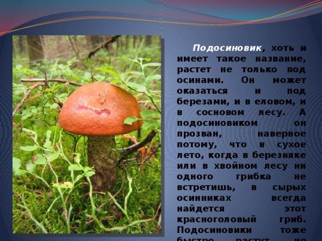 Подосиновик , хоть и имеет такое название, растет не только под осинами. Он может оказаться и под березами, и в еловом, и в сосновом лесу. А подосиновиком он прозван, наверное потому, что в сухое лето, когда в березняке или в хвойном лесу ни одного грибка не встретишь, в сырых осинниках всегда найдется этот красноголовый гриб. Подосиновики тоже быстро растут, но старятся чуть медленнее подберезовиков. На десятый-одиннадцатый день гриб еще пригоден в пищу.