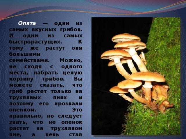 Опята — одни из самых вкусных грибов. И одни из самых быстрорастущих. К тому же растут они большими семействами. Можно, не сходя с одного места, набрать целую корзину грибов. Вы можете сказать, что гриб растет только на трухлявых пнях и поэтому его прозвали опенком. Это правильно, но следует знать, что не опенок растет на трухлявом пне, а пень стал трухлявым из-за того, что на нем поселился опенок. Если опенок поселится на здоровом дереве, то и оно станет трухлявым. Вот такой этот гриб!