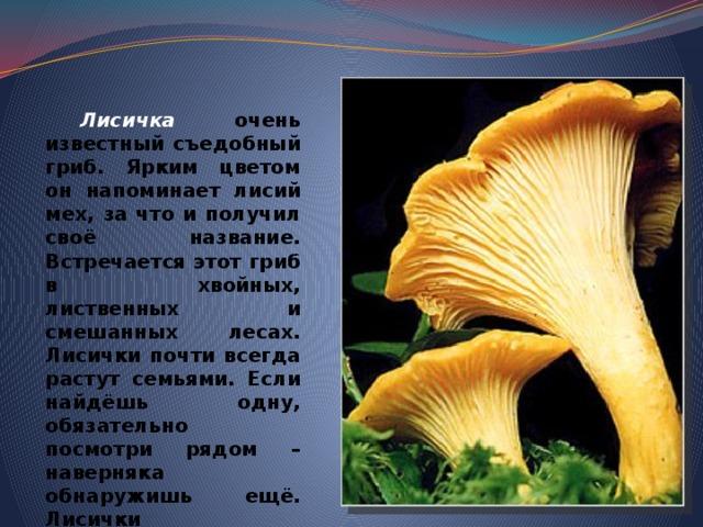 Лисичка очень известный съедобный гриб. Ярким цветом он напоминает лисий мех, за что и получил своё название. Встречается этот гриб в хвойных, лиственных и смешанных лесах. Лисички почти всегда растут семьями. Если найдёшь одну, обязательно посмотри рядом – наверняка обнаружишь ещё. Лисички замечательны тем, что не бывают червивыми. В них много витаминов.