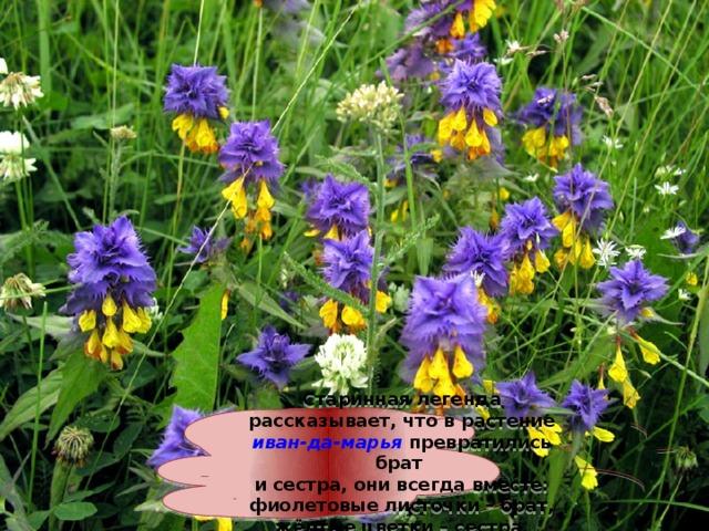 Старинная легенда рассказывает, что в растение иван-да-марья превратились брат и сестра, они всегда вместе: фиолетовые листочки – брат, жёлтые цветки – сестра.