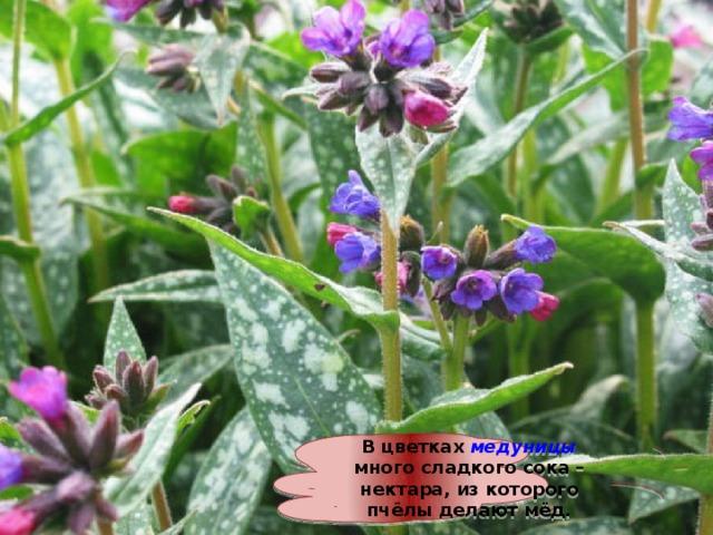 В цветках медуницы много сладкого сока – нектара, из которого пчёлы делают мёд.