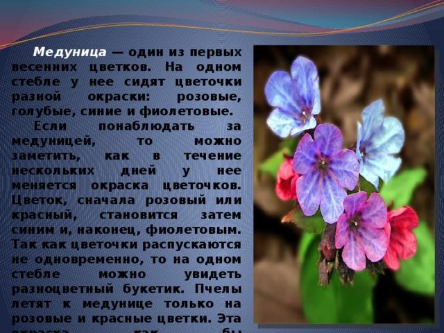 Медуница  — один из первых весенних цветков. На одном стебле у нее сидят цветочки разной окраски: розовые, голубые, синие и фиолетовые.  Если понаблюдать за медуницей, то можно заметить, как в течение нескольких дней у нее меняется окраска цветочков. Цветок, сначала розовый или красный, становится затем синим и, наконец, фиолетовым. Так как цветочки распускаются не одновременно, то на одном стебле можно увидеть разноцветный букетик. Пчелы летят к медунице только на розовые и красные цветки. Эта окраска как бы предупреждает насекомое о том, что мед есть. Как только цветок изменит окраску, пчела к нему уже не полетит, так как знает: меда нет.