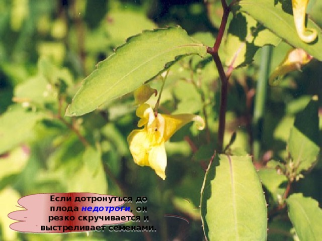 Если дотронуться до плода недотроги , он резко скручивается и выстреливает семенами.