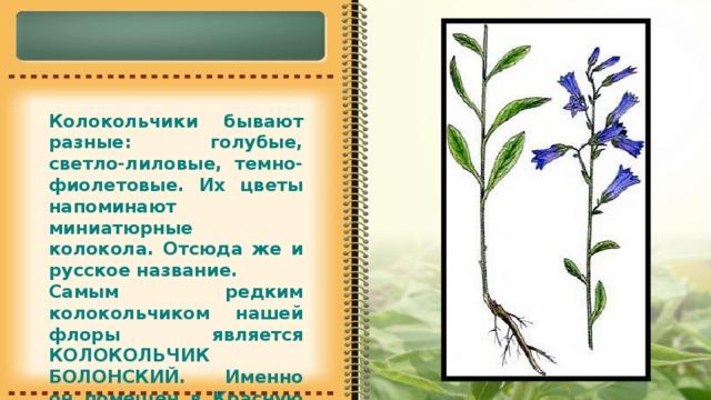 Колокольчики бывают разные: голубые, светло-лиловые, темно-фиолетовые. Их цветы напоминают миниатюрные колокола. Отсюда же и русское название. Самым редким колокольчиком нашей флоры является КОЛОКОЛЬЧИК БОЛОНСКИЙ. Именно он помещен в Красную книгу.