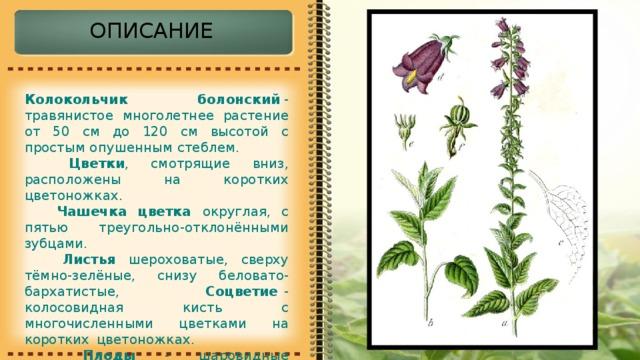 ОПИСАНИЕ Колокольчик болонский - травянистое многолетнее растение от 50 см до 120 см высотой с простым опушенным стеблем.  Цветки , смотрящие вниз, расположены на коротких цветоножках.  Чашечка цветка округлая, с пятью треугольно-отклонёнными зубцами.  Листья шероховатые, сверху тёмно-зелёные, снизу беловато-бархатистые, Соцветие - колосовидная кисть с многочисленными цветками на коротких  цветоножках.   Плоды - шаровидные многосемянные коробочки.
