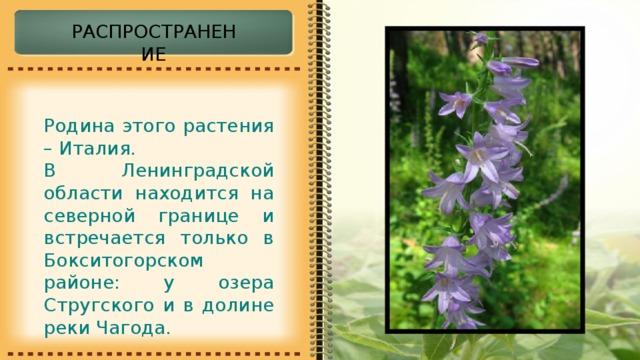 РАСПРОСТРАНЕНИЕ Родина этого растения – Италия. В Ленинградской области находится на северной границе и встречается только в Бокситогорском районе: у озера Стругского и в долине реки Чагода.