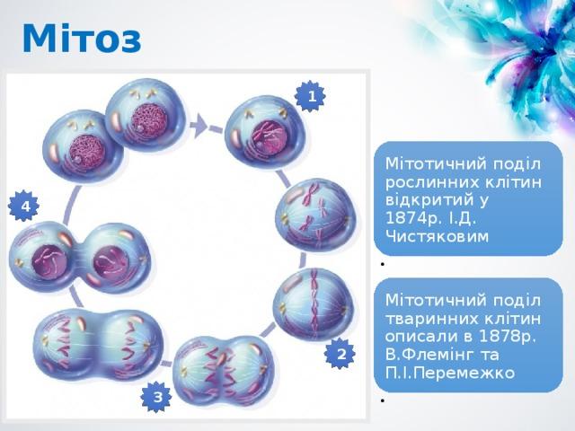 Мітоз 1 Мітотичний поділ рослинних клітин відкритий у 1874р. І.Д. Чистяковим 4 Мітотичний поділ тваринних клітин описали в 1878р. В.Флемінг та П.І.Перемежко 2 3