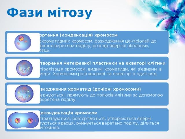 Фази мітозу Профаза  – згортання (конденсація) хромосом Ущільнення двохроматидних хромосом, розходження центріолей до полюсів, формування веретена поділу, розпад ядерної оболонки, зникнення ядерець. Метафаза  – утворення метафазної пластинки на екваторі клітини Максимальна спіралізація хромосом, видимі хроматиди, які з'єднанні в області центромери. Хромосоми розташовані на екваторі в один ряд. Анафаза  – розходження хроматид (дочірні хромосоми) Хроматиди роз'єднуються і прямують до полюсів клітини за допомогою мікротрубочок веретена поділу. Телофаза  – деконденсація хромосом Хромосоми деспіралізуються, розгортаються, утворюються ядерні оболонки, формуються ядерця, руйнується веретено поділу, ділиться цитоплазма – цитокінез.