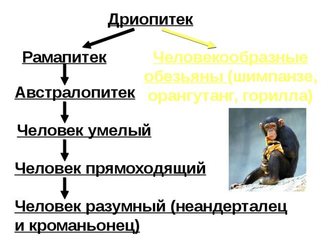 Дриопитек Рамапитек Человекообразные обезьяны (шимпанзе, орангутанг, горилла) Австралопитек Человек умелый Человек прямоходящий Человек разумный (неандерталец и кроманьонец)
