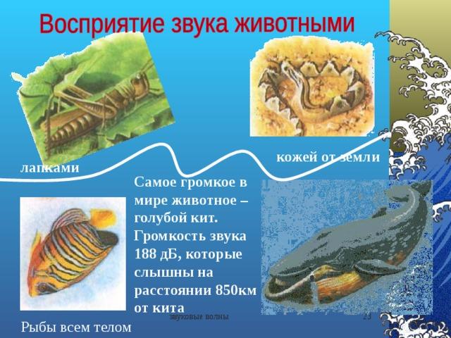 кожей от земли лапками Самое громкое в мире животное – голубой кит. Громкость звука 188 дБ, которые слышны на расстоянии 850км от кита звуковые волны  Рыбы всем телом