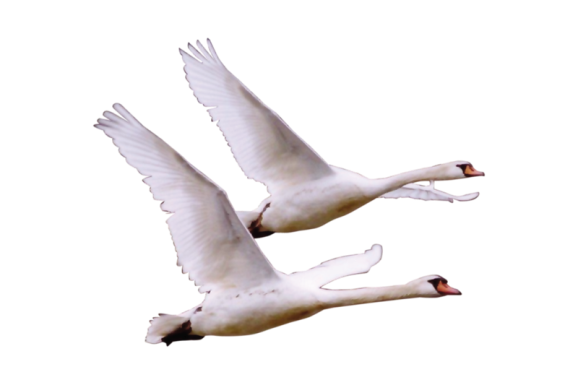 гиф летящие лебеди на прозрачном фоне как будто