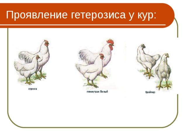 Проявление гетерозиса у кур: