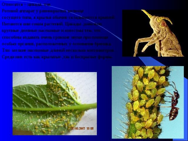 Относятся – цикада, тля. Ротовой аппарат у равнокрылых колюще сосущего типа, а крылья обычно складываются крышей. Питаются они соком растений. Цикады- довольно крупные дневные насекомые и известны тем, что способны издавать очень громкие звуки при помощи особых органов, расположенных у основания брюшка. Тли- мелкие насекомые длиной несколько миллиметров. Среди них есть как крылатые ,так и бескрылые формы.
