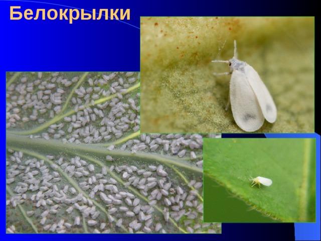 Белокрылки