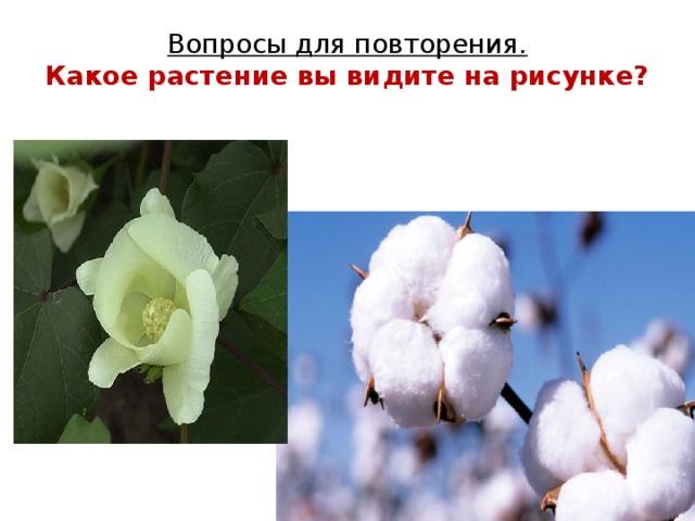 Вопросы для повторения.  Какое растение вы видите на рисунке?
