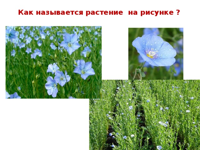 Как называется растение на рисунке ?