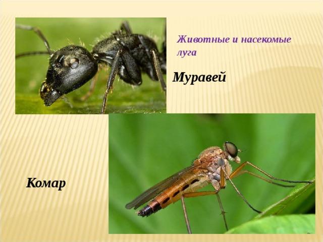 Животные и насекомые луга Муравей Комар