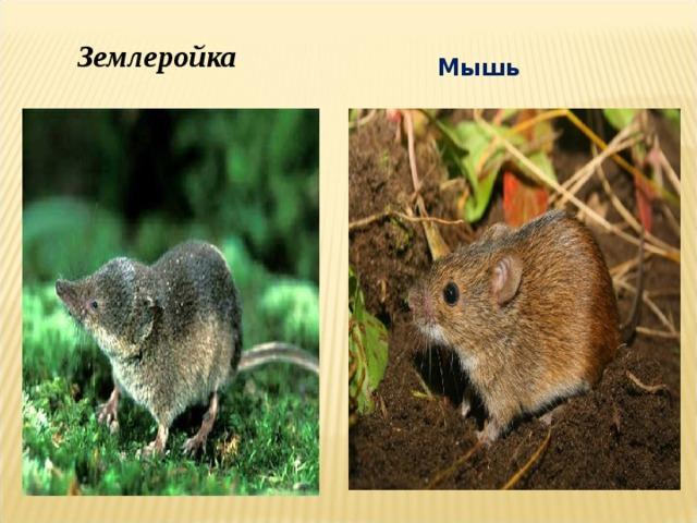 Землеройка Мышь