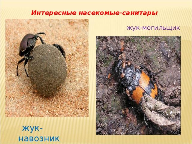 Интересные насекомые-санитары жук-могильщик    жук-навозник