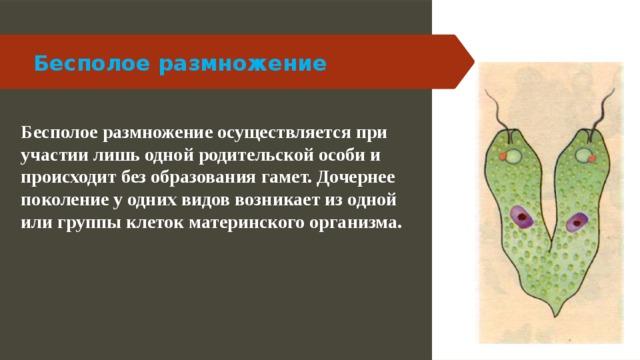 Бесполое размножение Бесполое размножение осуществляется при участии лишь одной родительской особи и происходит без образования гамет. Дочернее поколение у одних видов возникает из одной или группы клеток материнского организма.