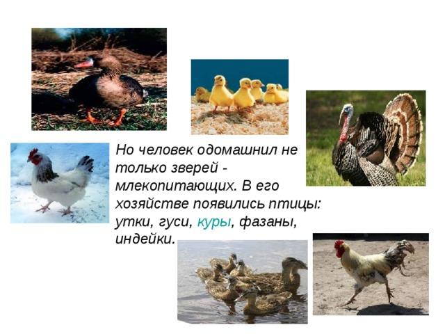 Но человек одомашнил не только зверей - млекопитающих. В его хозяйстве появились птицы: утки, гуси, куры , фазаны, индейки.