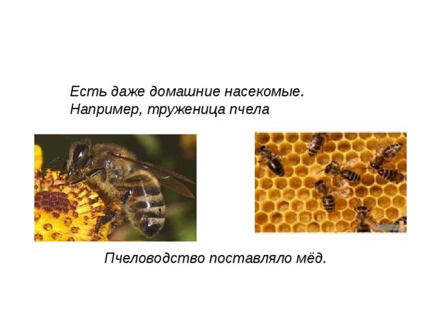 Есть даже домашние насекомые. Например, труженица пчела Пчеловодство поставляло мёд.