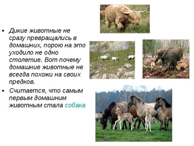 Дикие животные не сразу превращались в домашних, порою на это уходило не одно столетие. Вот почему домашние животные не всегда похожи на своих предков. Считается, что самым первым домашним животным стала собака