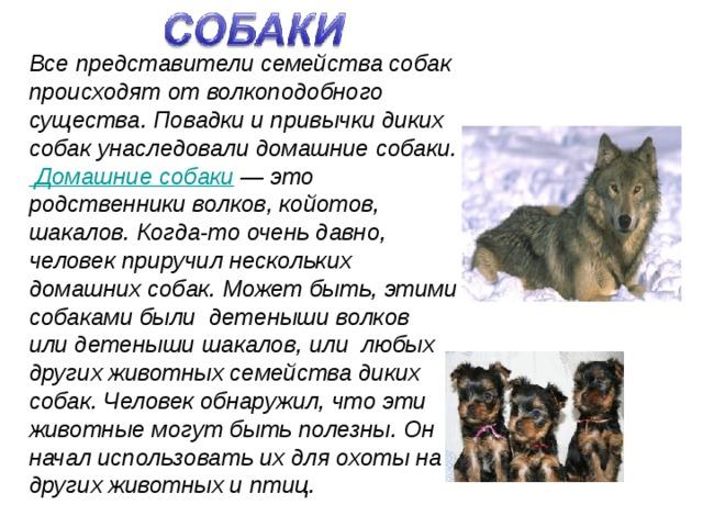 Все представители семейства собак происходят от волкоподобного существа. Повадки и привычки диких собак унаследовали домашние собаки. Домашние собаки — это родственники волков, койотов, шакалов. Когда-то очень давно, человек приручил нескольких домашних собак. Может быть, этими собаками были детеныши волков или детеныши шакалов, или любых других животных семейства диких собак. Человек обнаружил, что эти животные могут быть полезны. Он начал использовать их для охоты на других животных и птиц.
