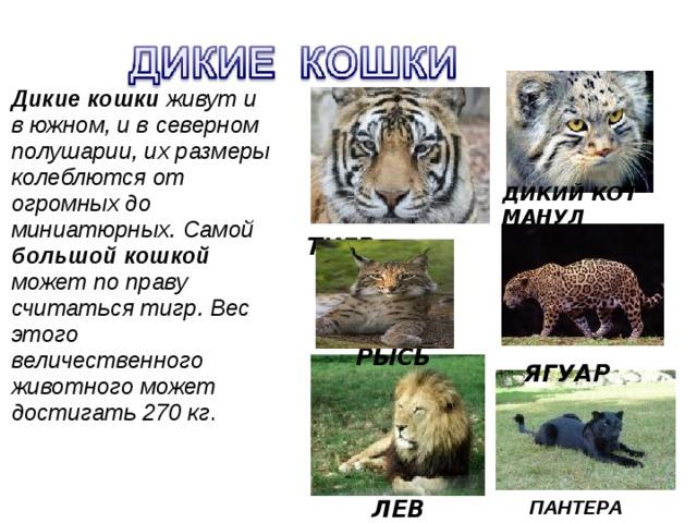 ЛЕВ   ЯГУАР  Дикие кошки живут и в южном, и в северном полушарии, их размеры колеблются от огромных до миниатюрных. Самой большой кошкой может по праву считаться тигр. Вес этого величественного животного может достигать 270 кг . ДИКИЙ КОТ МАНУЛ  ТИГР РЫСЬ ПАНТЕРА