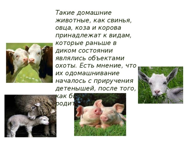 Такие домашние животные, как свинья, овца, коза и корова принадлежат к видам, которые раньше в диком состоянии являлись объектами охоты. Есть мнение, что их одомашнивание началось с приручения детенышей, после того, как были убиты их родители.