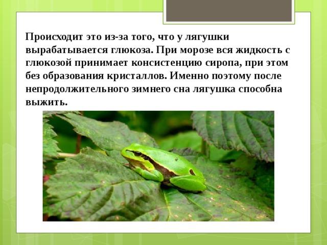 Происходит это из-за того, что у лягушки вырабатываетсяглюкоза. При морозе вся жидкость с глюкозой принимает консистенцию сиропа, при этом без образования кристаллов. Именно поэтому после непродолжительного зимнего сна лягушка способна выжить.