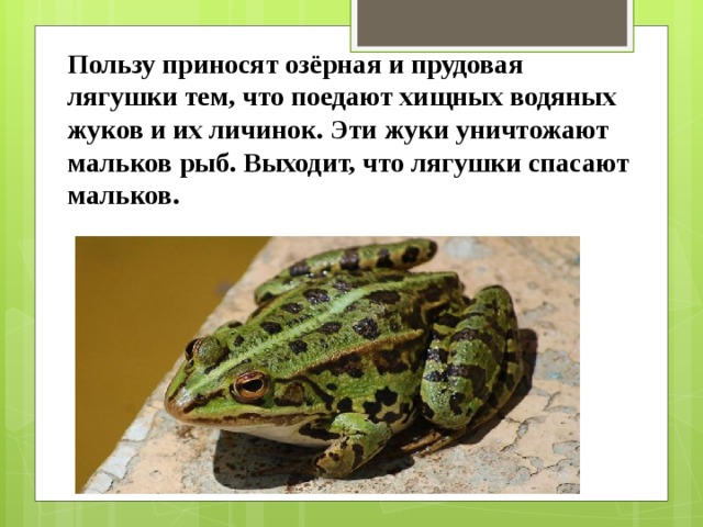 Пользу приносят озёрная и прудовая лягушки тем, что поедают хищных водяных жуков и их личинок. Эти жуки уничтожают мальков рыб. Выходит, что лягушки спасают мальков.