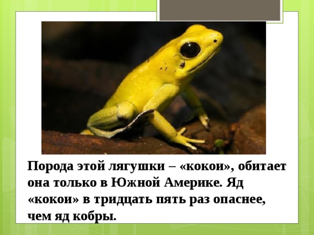 Порода этой лягушки – «кокои», обитает она только в Южной Америке. Яд «кокои» в тридцать пять раз опаснее, чем яд кобры.