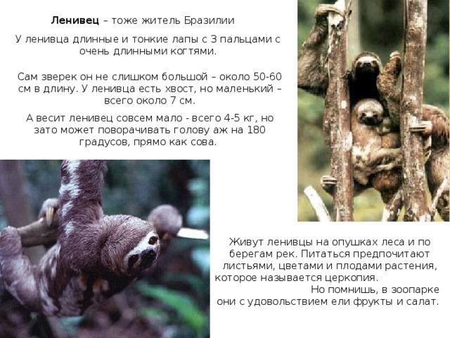Ленивец – тоже житель Бразилии У ленивца длинные и тонкие лапы с 3 пальцами с очень длинными когтями. Сам зверек он не слишком большой – около 50-60 см в длину. У ленивца есть хвост, но маленький – всего около 7 см. А весит ленивец совсем мало - всего 4-5 кг, но зато может поворачивать голову аж на 180 градусов, прямо как сова. Живут ленивцы на опушках леса и по берегам рек. Питаться предпочитают листьями, цветами и плодами растения, которое называется церкопия. Но помнишь, в зоопарке они с удовольствием ели фрукты и салат.