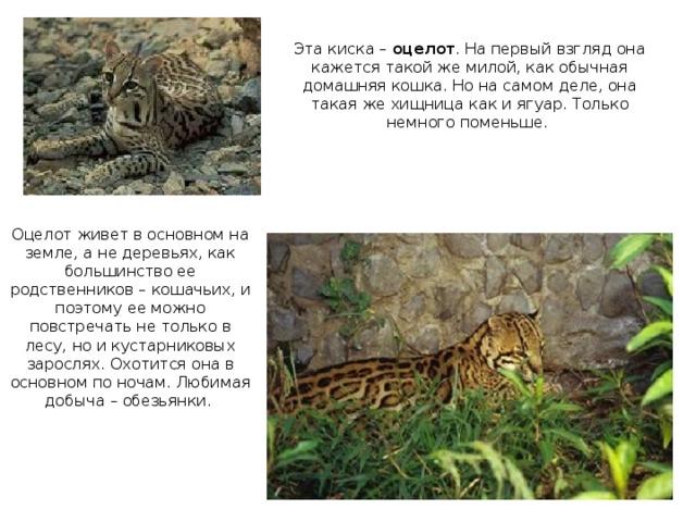 Эта киска – оцелот . На первый взгляд она кажется такой же милой, как обычная домашняя кошка. Но на самом деле, она такая же хищница как и ягуар. Только немного поменьше. Оцелот живет в основном на земле, а не деревьях, как большинство ее родственников – кошачьих, и поэтому ее можно повстречать не только в лесу, но и кустарниковых зарослях. Охотится она в основном по ночам. Любимая добыча – обезьянки.