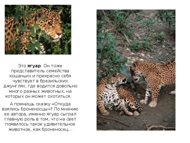 Это ягуар . Он тоже представитель семейства кошачьих и прекрасно себя чувствует в бразильских джунглях, где водится довольно много разных животных, на которых он может охотиться. А помнишь сказку «Откуда взялись броненосцы»? По мнению ее автора, именно ягуар сыграл главную роль в том, что на свет появилось такое удивительное животное, как броненосец...