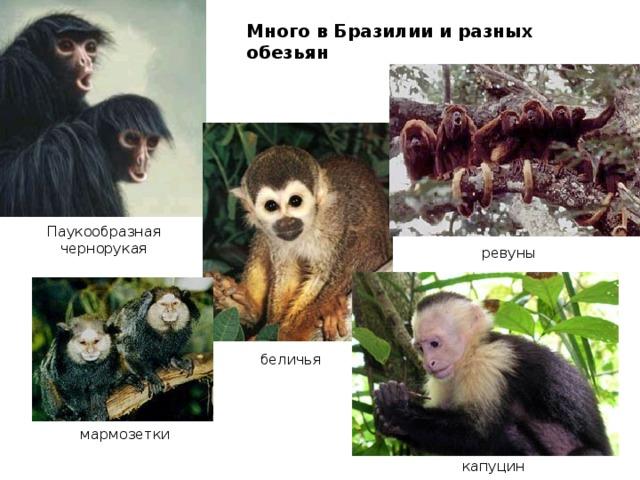 Много в Бразилии и разных обезьян Паукообразная чернорукая ревуны беличья мармозетки капуцин