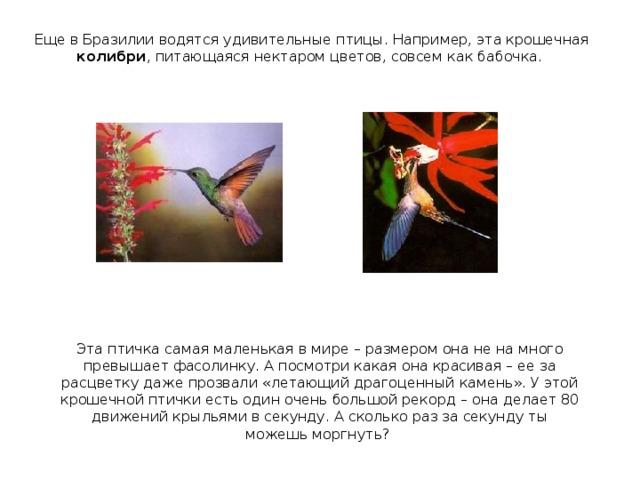 Еще в Бразилии водятся удивительные птицы. Например, эта крошечная колибри , питающаяся нектаром цветов, совсем как бабочка. Эта птичка самая маленькая в мире – размером она не на много превышает фасолинку. А посмотри какая она красивая – ее за расцветку даже прозвали «летающий драгоценный камень». У этой крошечной птички есть один очень большой рекорд – она делает 80 движений крыльями в секунду. А сколько раз за секунду ты можешь моргнуть?