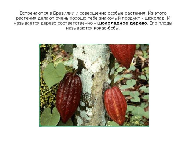 Встречаются в Бразилии и совершенно особые растения. Из этого растения делают очень хорошо тебе знакомый продукт – шоколад. И называется дерево соответственно – шоколадное дерево . Его плоды называются кокао-бобы.